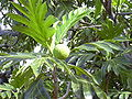 Starr 031209-0031 Artocarpus altilis.jpg