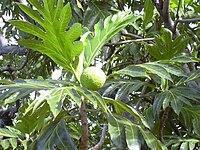 Starr 031209-0031 Artocarpus altilis