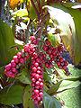 Starr 040509-0004 Cordyline fruticosa.jpg