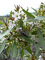 Starr 040513-0050 Myoporum sandwicense.jpg