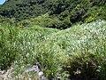 Starr 040518-0072 Pennisetum purpureum.jpg