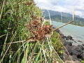 Starr 050419-6506 Cyperus javanicus.jpg