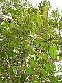 Starr 051029-5108 Alectryon macrococcus var. auwahiensis.jpg