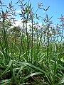 Starr 060416-7708 Cyperus rotundus.jpg