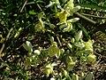 Starr 060921-9051 Moringa oleifera.jpg