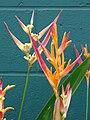 Starr 070730-7738 Heliconia psittacorum.jpg