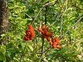Sterculia villosa fruits AJT Johnsingh P1020167.JPG