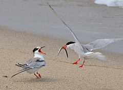 Sterna hirundo -Nantucket National Wildlife Refuge, Massachusetts, USA -adult and juvenile-8.jpg