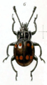 Stictomela chrysomeloides.png