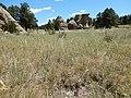Stipa comata var. comata at Medicine Rocks State Park (35569833831).jpg