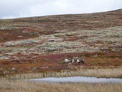 Storbukk Gjersjøhøa.jpg