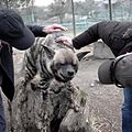 Striped hyena at Jungle Cat World 3.jpg