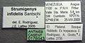 Strumigenys infidelis casent0178643 label 1.jpg