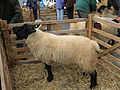 Suffolk Sheep.JPG