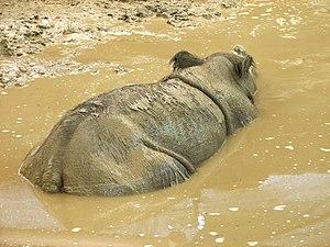 Wallowing in animals - Sumatran rhinoceros wallowing