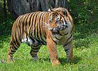 Sumatran Tiger, Miami MetroZoo.jpg