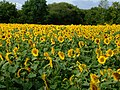 Sunflower Field - panoramio.jpg