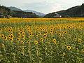Sunflower Manno Town honoyama20150715.JPG