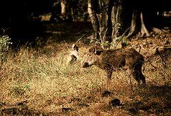 Javali indiano (Sus scrofa cristatus) no Parque Nacional Ranthambore.