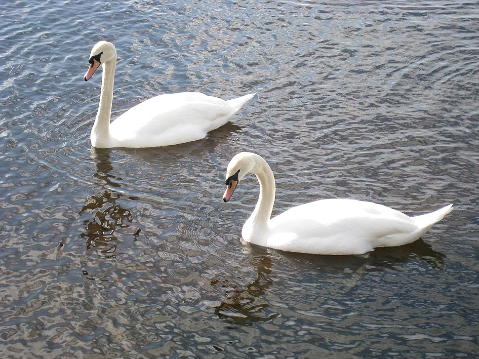 SwansOnLoughLeane
