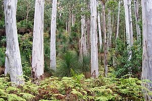 Eucalyptus saligna - Blue gum forest at Mount Cabrebald, NSW, Australia