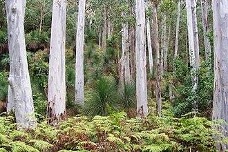 Eucalyptus saligna - Blue gum forest at Mount Cabrebald, NSW, Australia