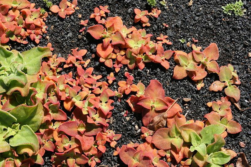 File:Tías - Masdache - LZ-58 - Mesembryanthemum crystallinum 03 ies.jpg