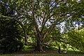 Több száz éves platánfa a Károlyi kastély kertjében.jpg