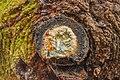 Tak wond van een spar (Picea) bedekt met schimmel en hars. Locatie, Natuurterrein De Famberhorst.jpg