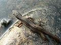 Takydromus sp Namdapha Aparajita Datta.jpg