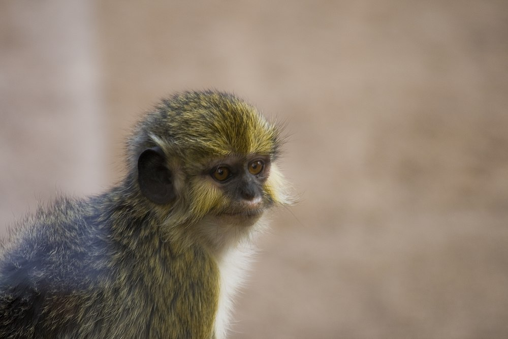 The average litter size of a Angolan talapoin is 1