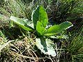 Taraxacum serotinum sl50.jpg