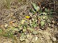 Taraxacum serotinum sl67.jpg