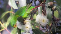 File:Tasmania's swift parrot set to follow the dodo.webm