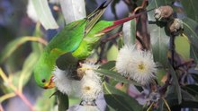File:Tasmania's swift parrot set to follow the dodo.webm