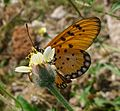 Tawny Coster. Acraea violae. u-s. - Flickr - gailhampshire.jpg