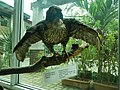 Taxidermied Peregrine Falcon - Falco peregrinus - Ninoy Aquino Parks & Wildlife Center.jpg