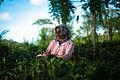 Tea crops gathering process. Bogawantalawa Valley. Sri Lanka-3.jpg