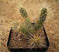 Tephrocactus weberi 01 ies.jpg