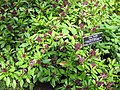 Thai basil - Gardenology.org-IMG 0590 bbg09.jpg
