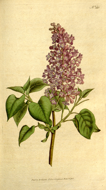 The Botanical Magazine, Plate 183 (Volume 6, 1793).png
