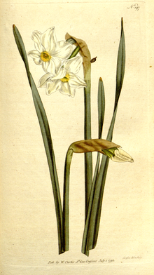 The Botanical Magazine, Plate 197 (Volume 6, 1793).png