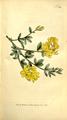 The Botanical Magazine, Plate 314 (Volume 9, 1795).png