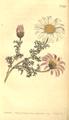 The Botanical Magazine, Plate 462 (Volume 13, 1799).png