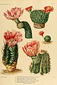 The Cactaceae (Plate IV) (8569079602).jpg