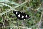 The Danaid Eggfly 6383.jpg