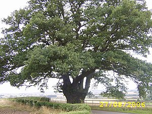 English: The Old Oak Tree.