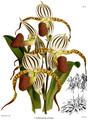 The Orchid Album-01-0029-0008-Cypripedium stonei.png