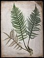 The male fern (Dryopteris filix-mas); fronds and part of rhi Wellcome V0043931.jpg