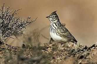 Thekla's lark - Image: Thekla Lark Marocco 07 3582 (16759996740)